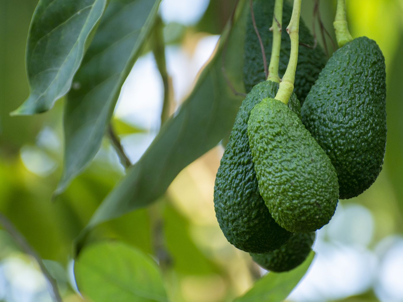A Complete Guide To Hass Avocado Trees This Old House