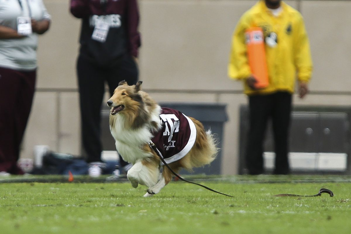 """When you search for """"A&M mascot"""" and you find a collie running with a leash attached, it's the pic for the day."""