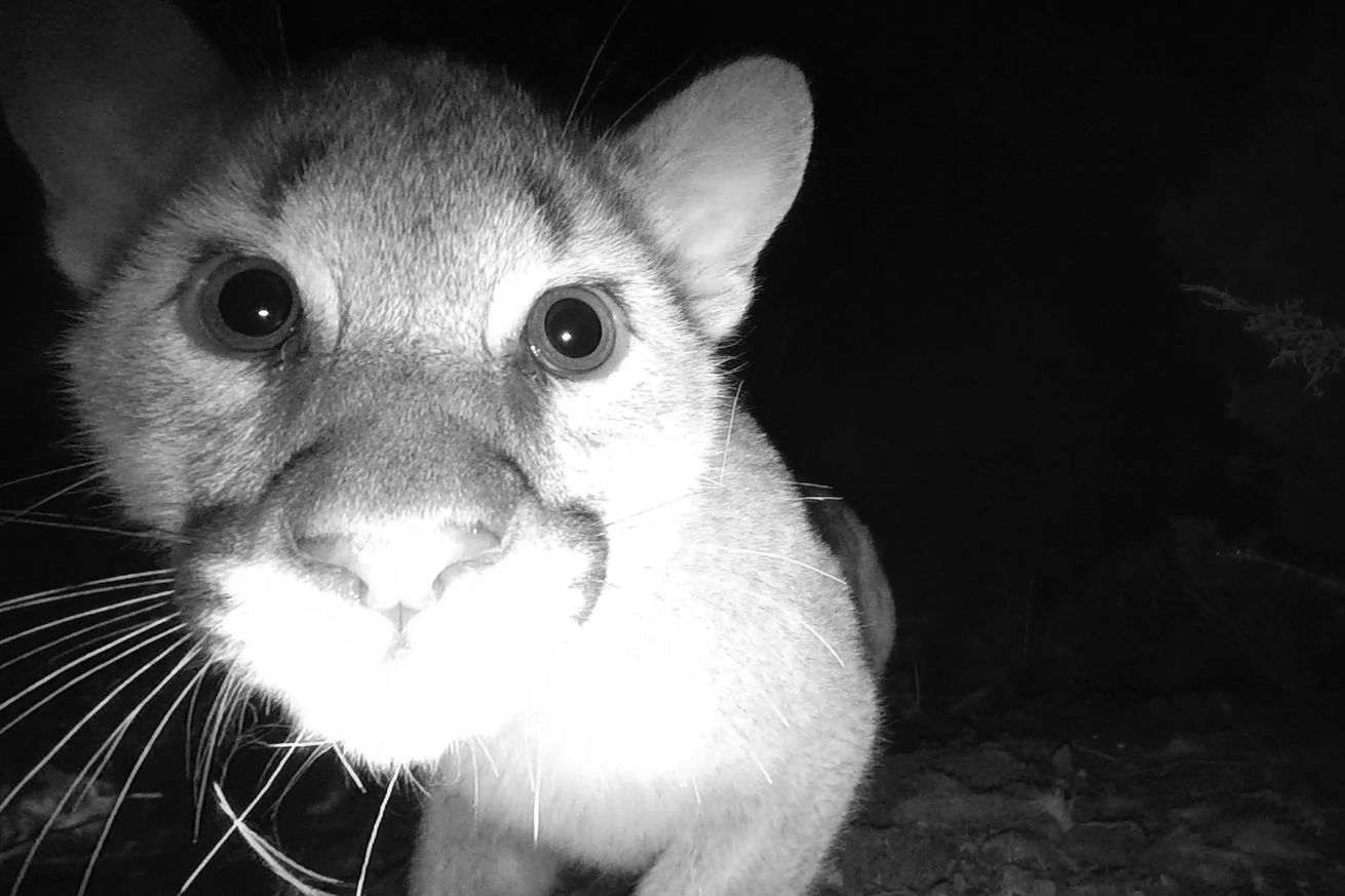 <em>One of the mountain lion cubs peers into a camera trap. </em>