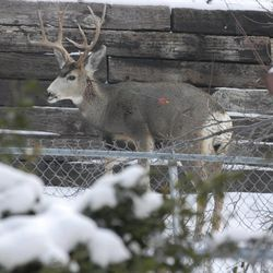 A buck with an arrow through its neck walks in the foothills near North Salt Lake on Tuesday, Jan. 4, 2011.