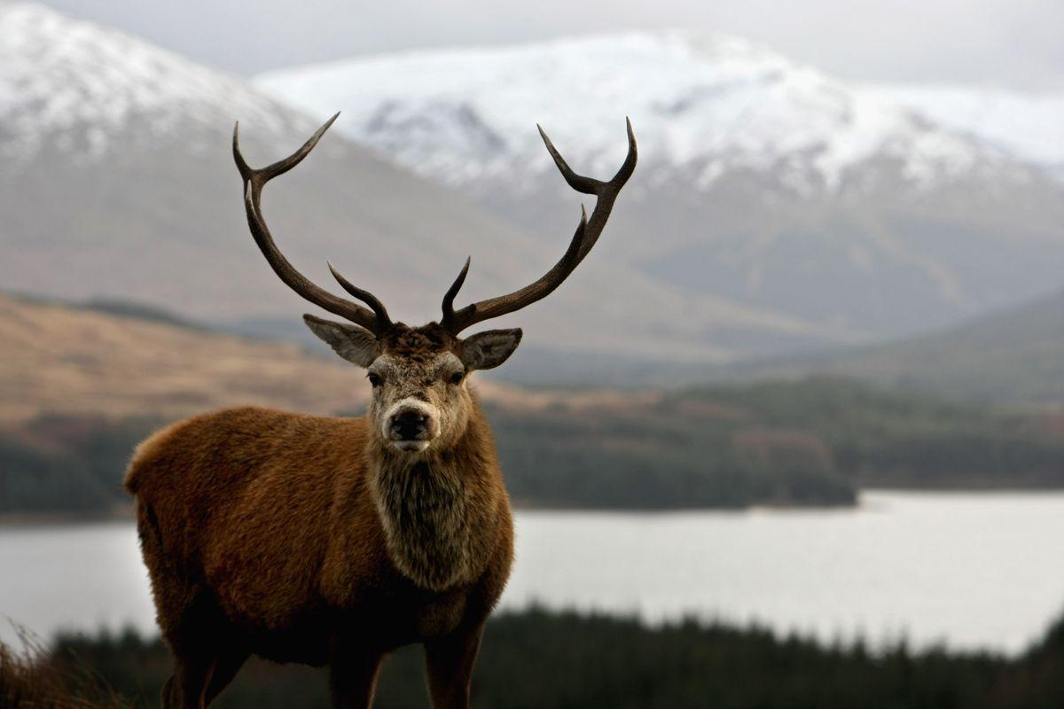 Glencoe deer