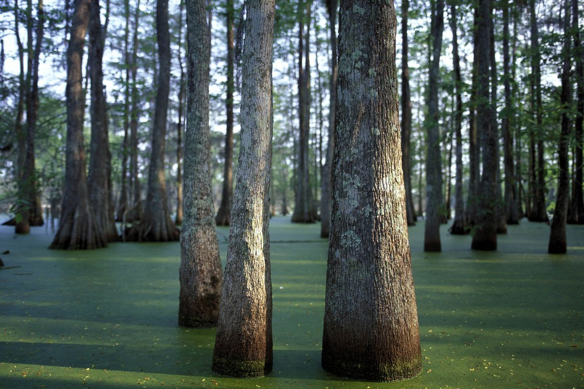Trees standing in a swamp.