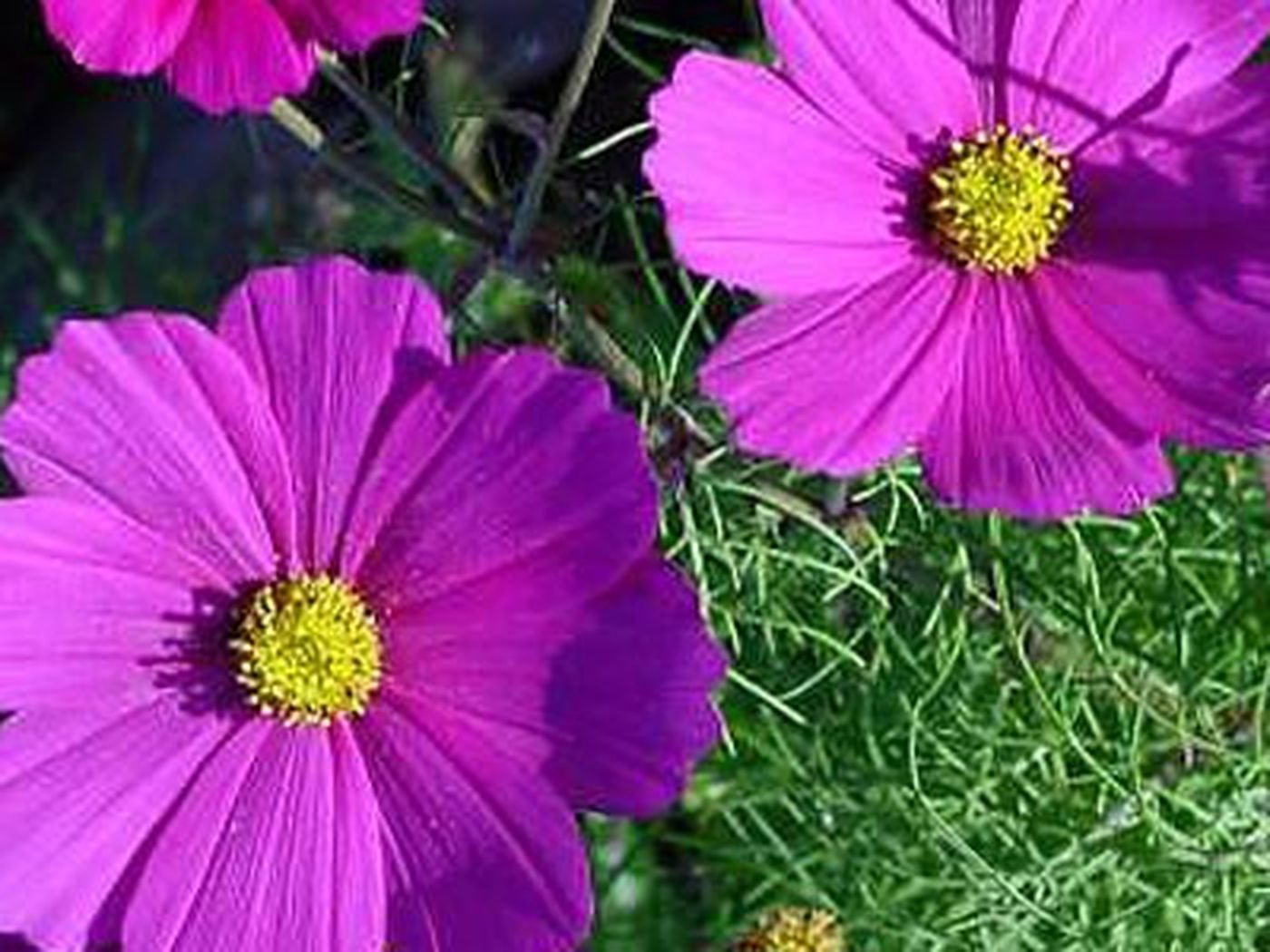 15 Fast Growing Flowers For A Cutting Garden This Old House