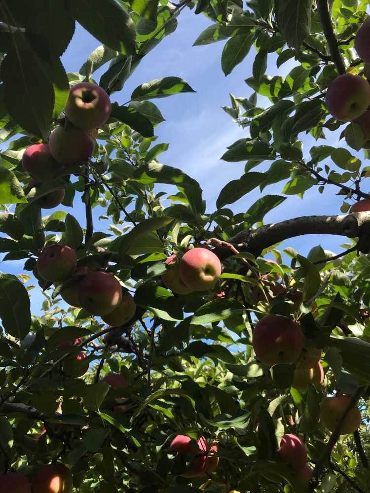 Apples hang from a tree