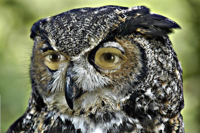 Horned owl Gaudreau