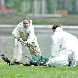 Kalyn McKenzie, right, from Hogle Zoo and another worker round up oil-soaked birds in Liberty Park on Saturday.
