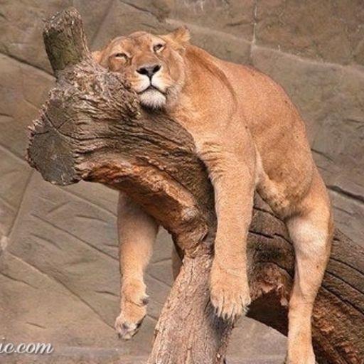 24538 relaxing lion.
