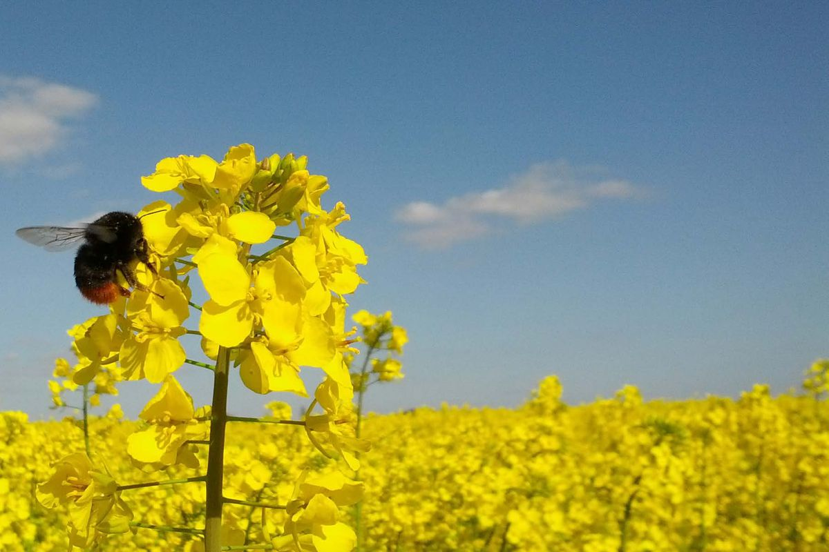 A foraging red-tailed bumblebee, Bombus lapidaries, visiting an oilseed rape flower in a field in the south of England.