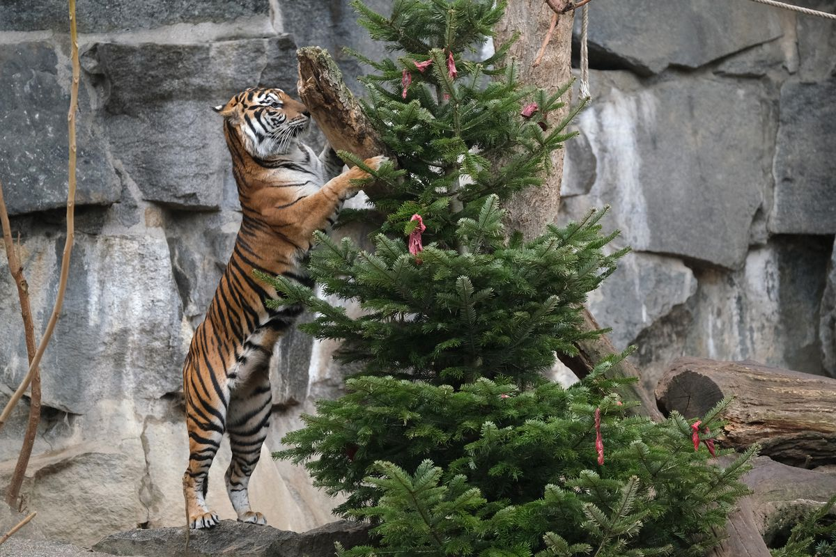 Animals Snack On Post-Christmas Delights At Berlin Zoo