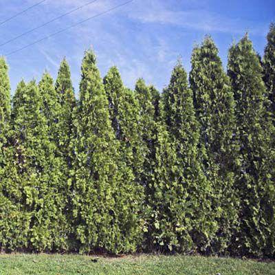 Leyland Cypress Evergreen