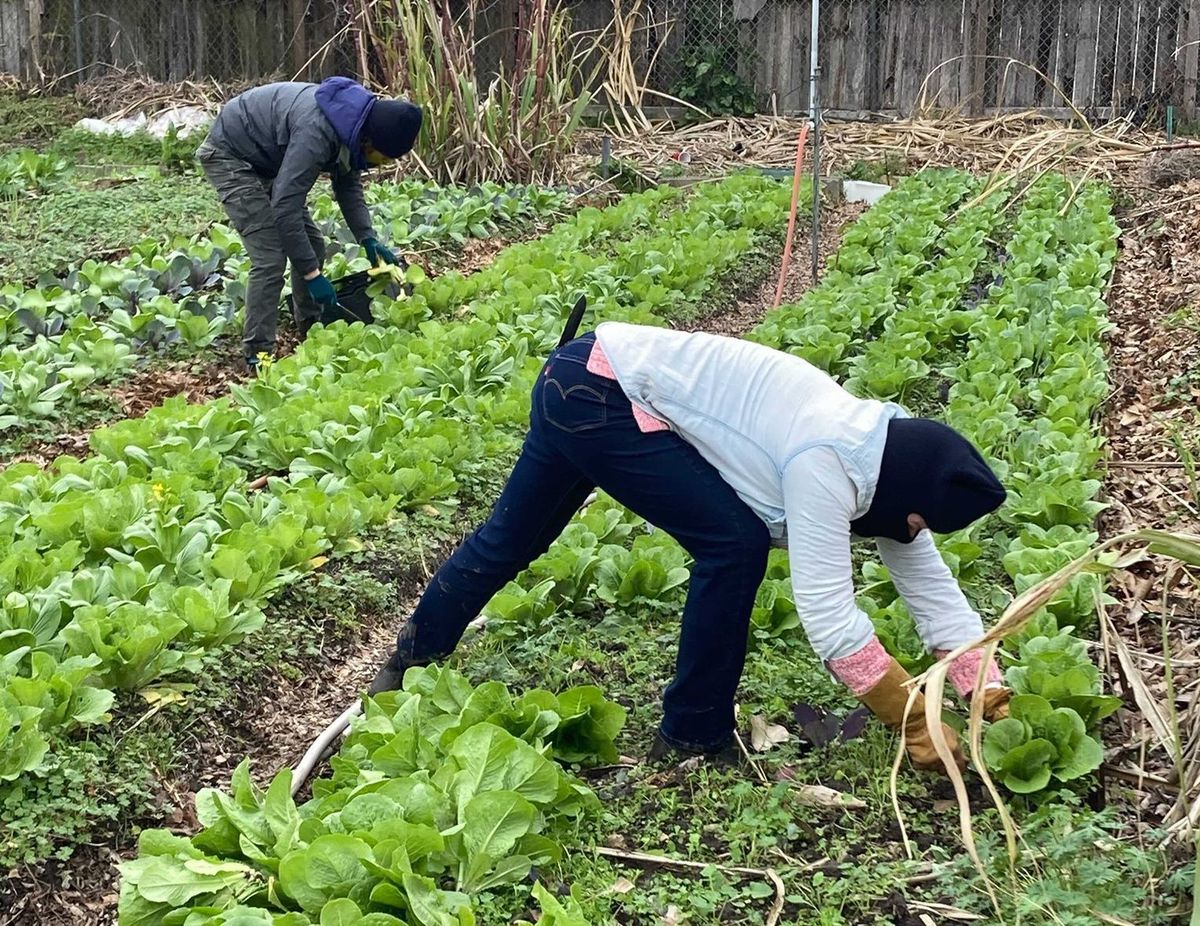Two people wearing winter gloves and hats prepare beds of lettuce for cold weather