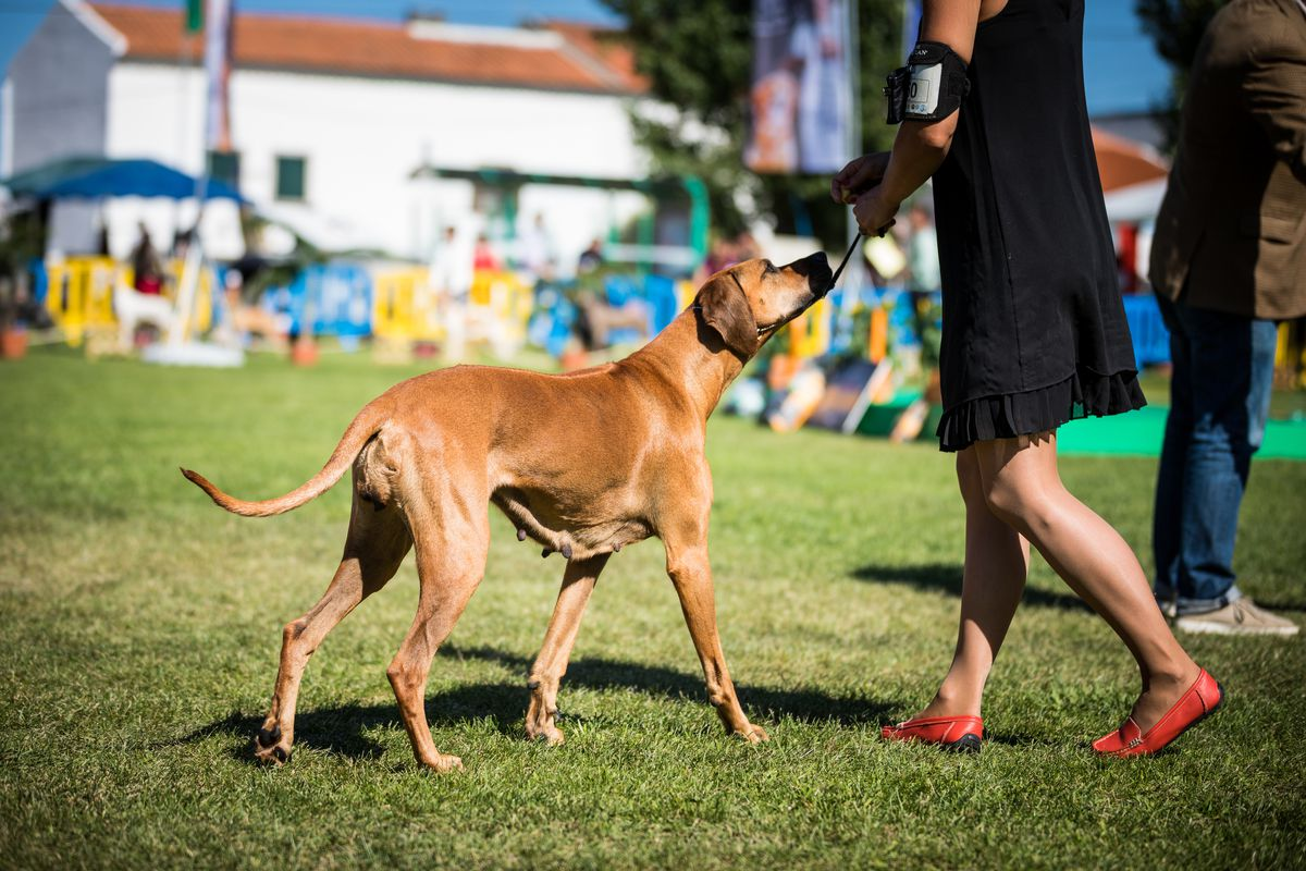 Rhodesian ridgeback breed dog parade with its owner. 37th...