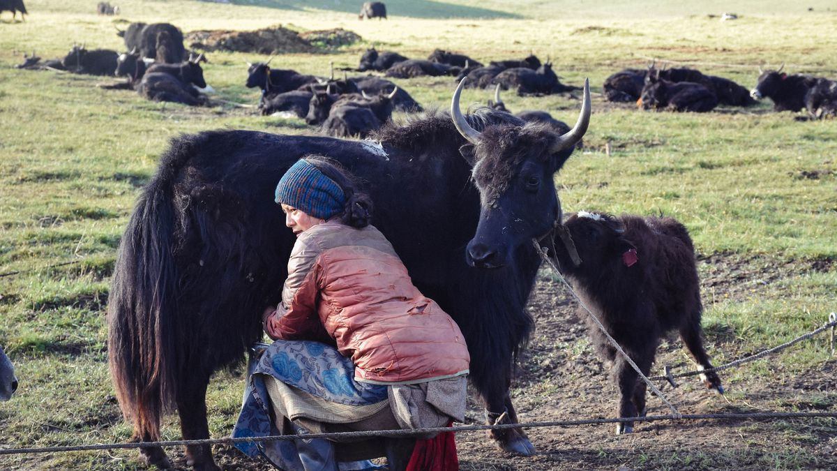 Image Of A Yak: Yak Butter Tea Is A Traditional Tibetan Drink With A
