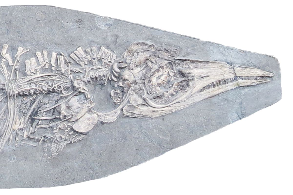 Baby Ichthyosaurus communis, with a belly full of squid hooklets.