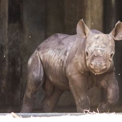 An unnamed critically endangered eastern black rhinoceros calf, born on May 19, peeks out to his outdoor habitat for the first time at Lincoln Park Zoo, Tuesday morning, June 18, 2019.