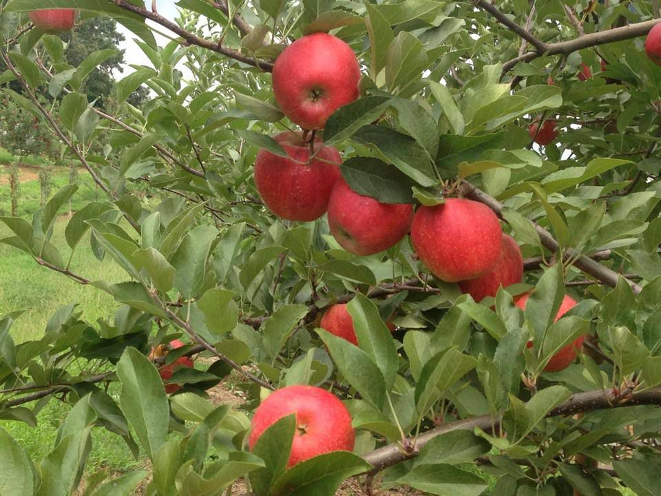 Bright pink red apples on a leafy green apple tree in an orchard