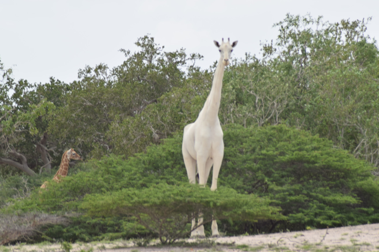how this giraffe lost its spots and other tales of unusually white animals