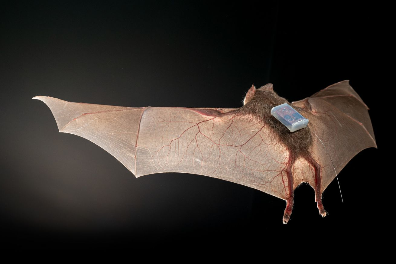 A small bat with its wings spread in flight against a dark background. On its back is a sensor that looks like a little battery pack.