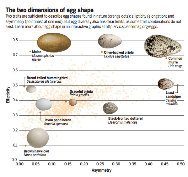 Cracking The Egg Mystery What Makes Eggs Round Or Pointy The Verge