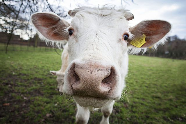 Cow Flickr