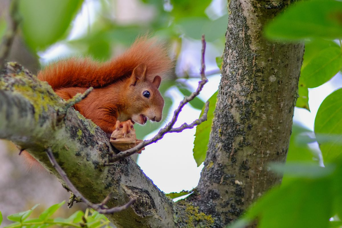 Young squirrel in walnut tree