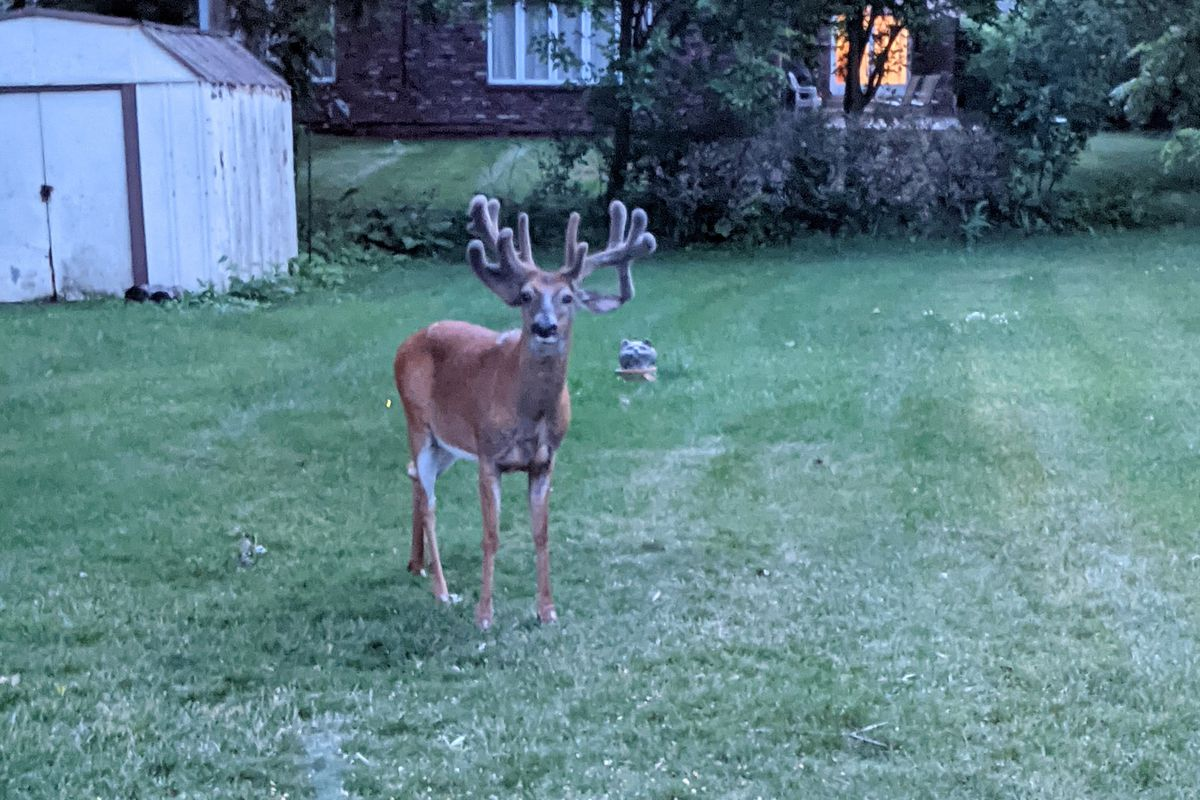 A big buck in velvet in the south suburbs. Provided by Roy Wick