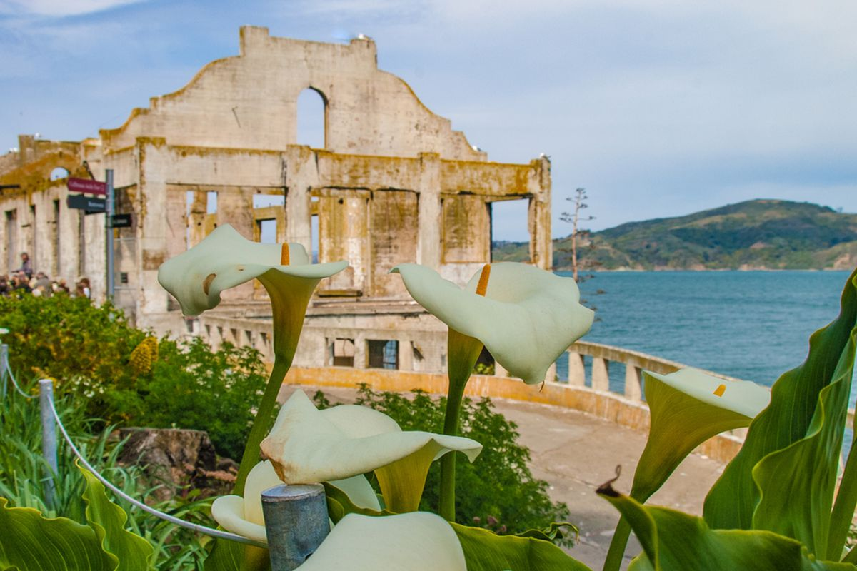 Daffodils growing on Alcatraz in front of a crumbling wall.