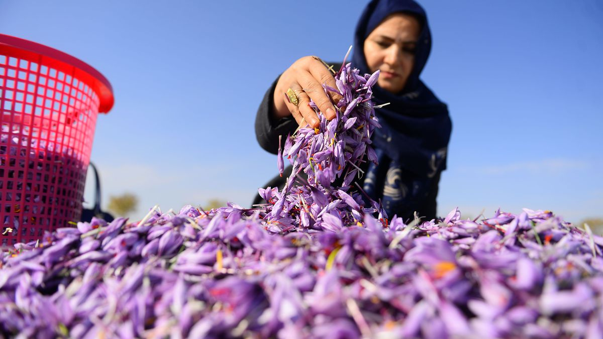 An Afghan woman harvests saffron flowers in a field outside Herat province