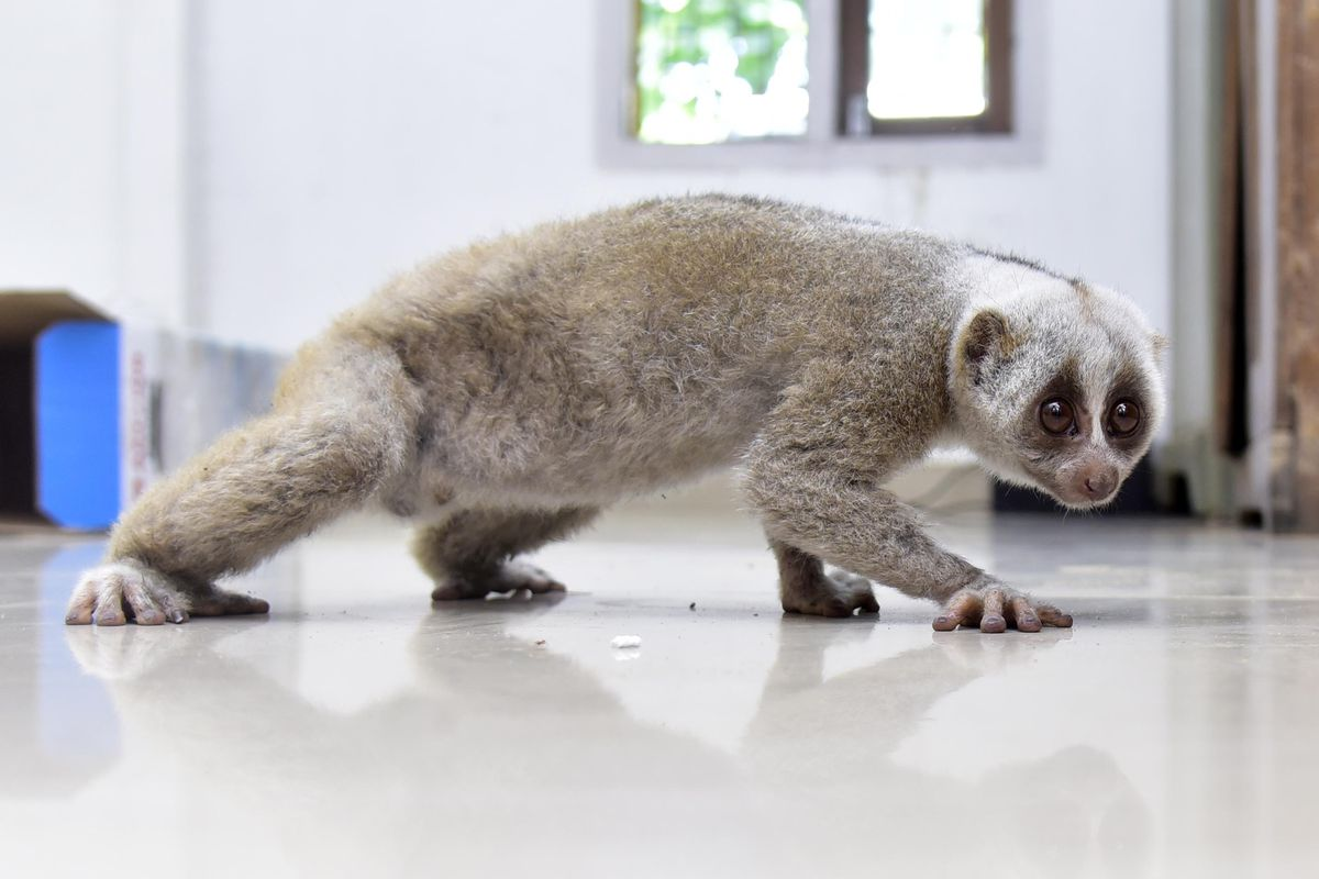 Slow loris rescued by Assam Forest Department
