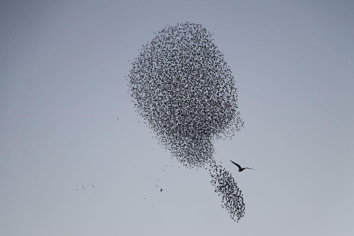 Murmuration of starlings over Tekirdag