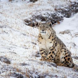 "Dawa, a snow leopard, in ""Born in China."""
