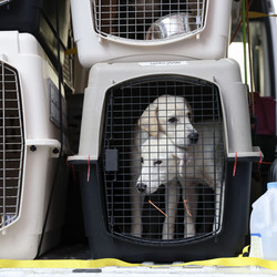 Dogs in kennels for transport arrive from shelters in Louisiana in the path of Hurricane Ida at PAWS Chicago Medical Center.