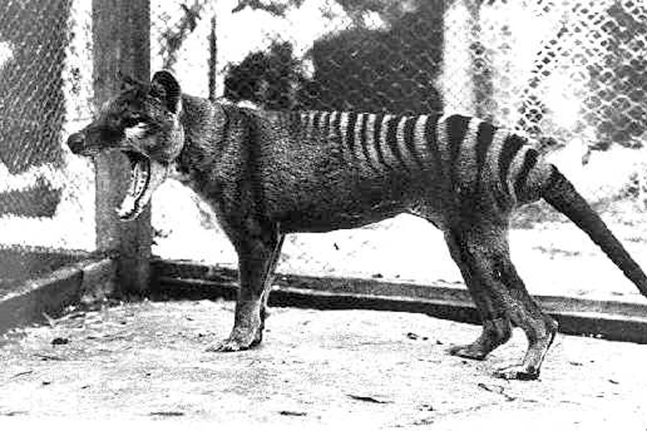 A black-and-white image of a Tasmanian tiger, a four legged animal with a face similar to a dog and strips from its mid back to its tail. Its mouth is open in a yawn or growl.
