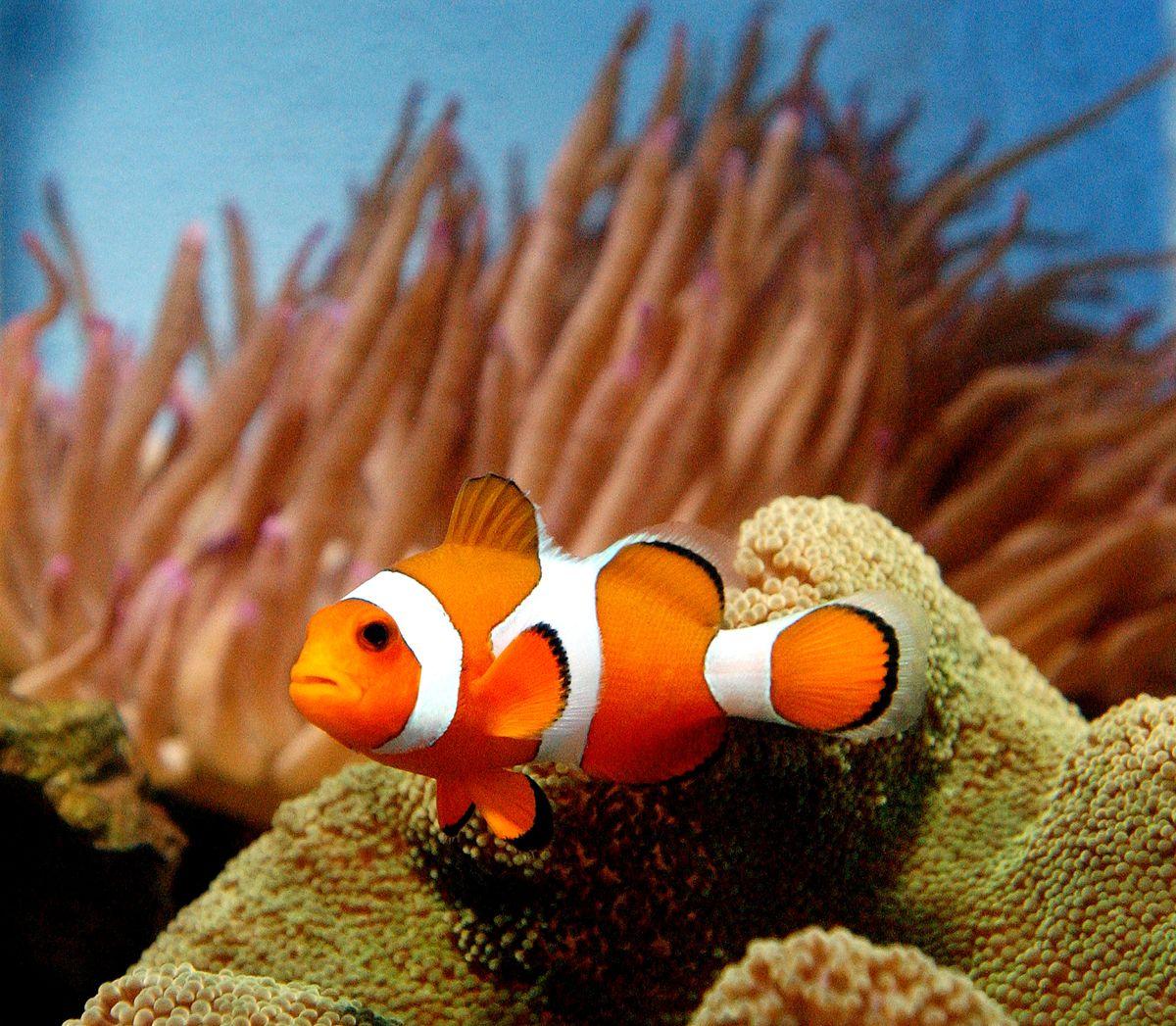 A photograph of a clownfish.
