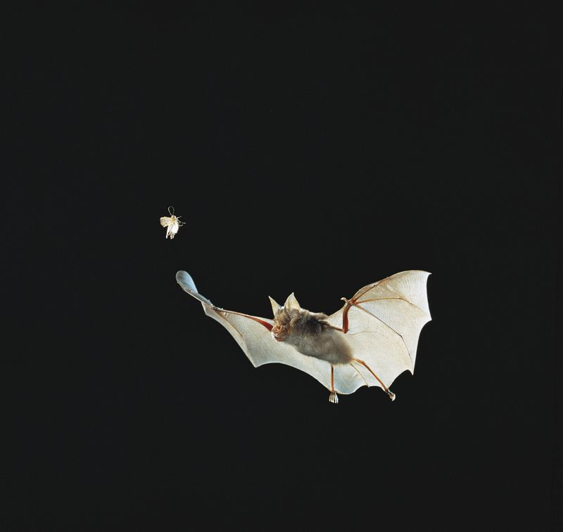 Greater Horseshoe Bat (Rhinolophus ferrumequinum)...
