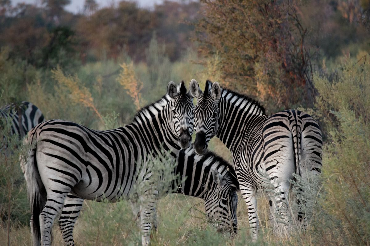 This does not have anything to do with soccer, but hey zebras are nice, so why not.