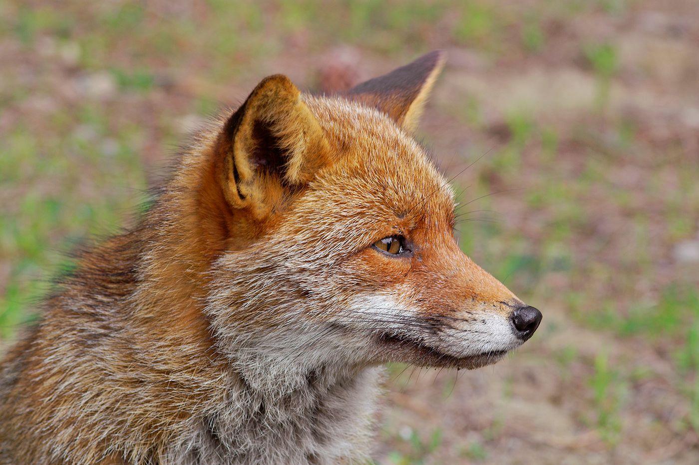 Wild animals endure illness, injury, and starvation  We