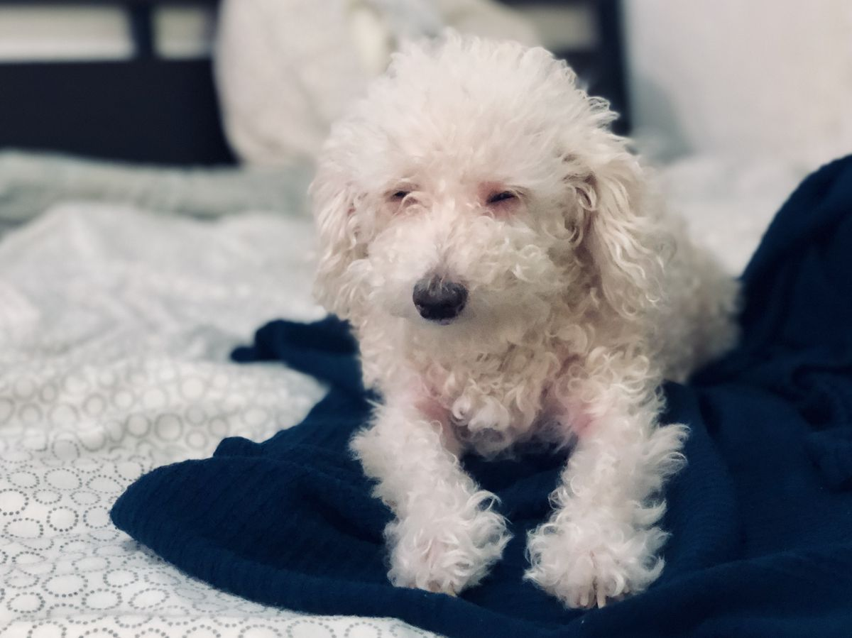 Princess the poodle mix is a very good dog