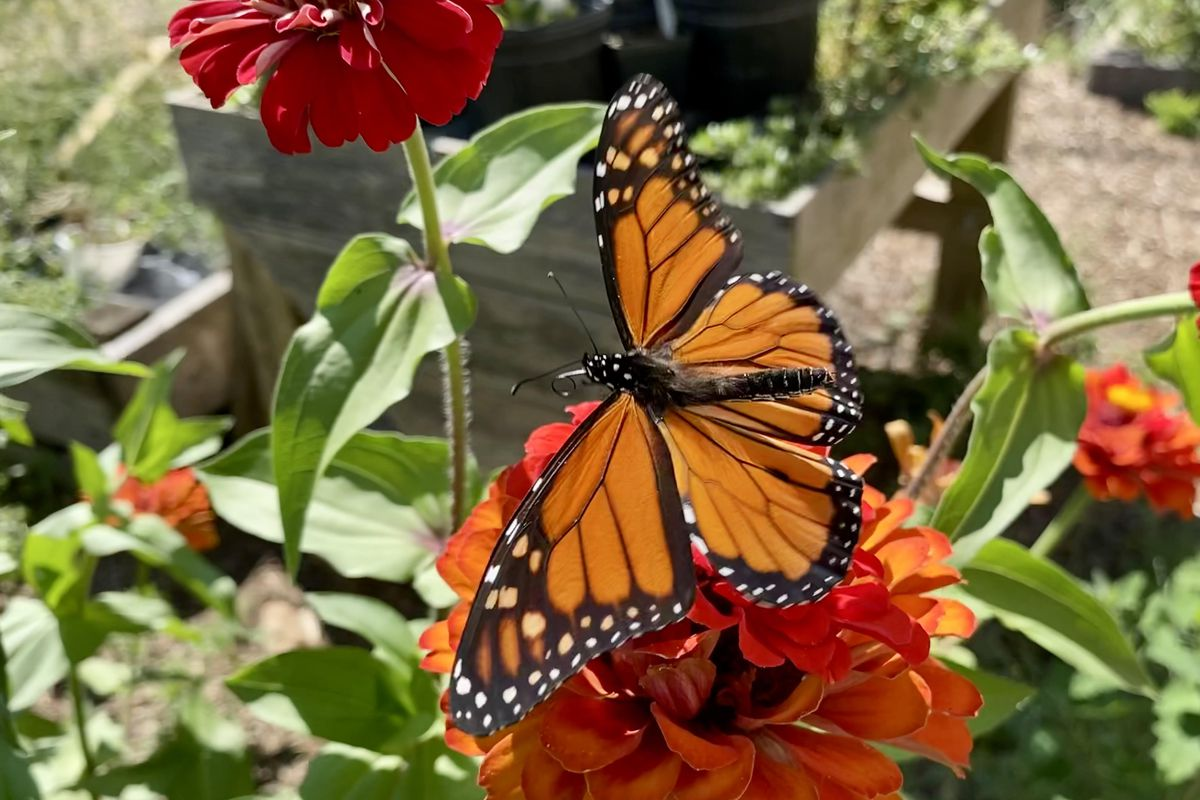 A monarch butterfly at Peterson Garden Project in Edgewater earlier this month. Credit: Seth Zimmerman