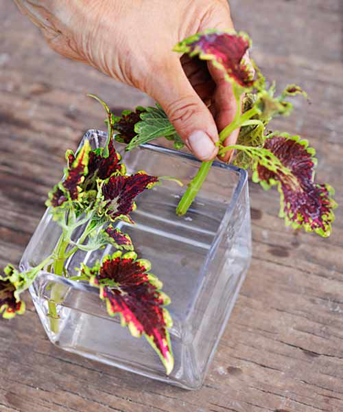 Placing Cut Coleus In Glass Container Of Water