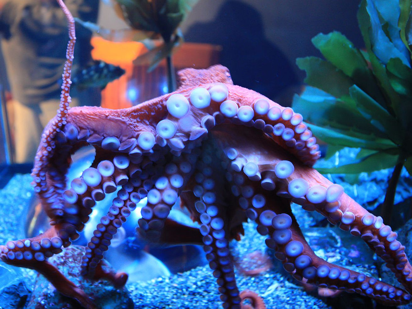 Octopus need enrichment to thrive in captivity.