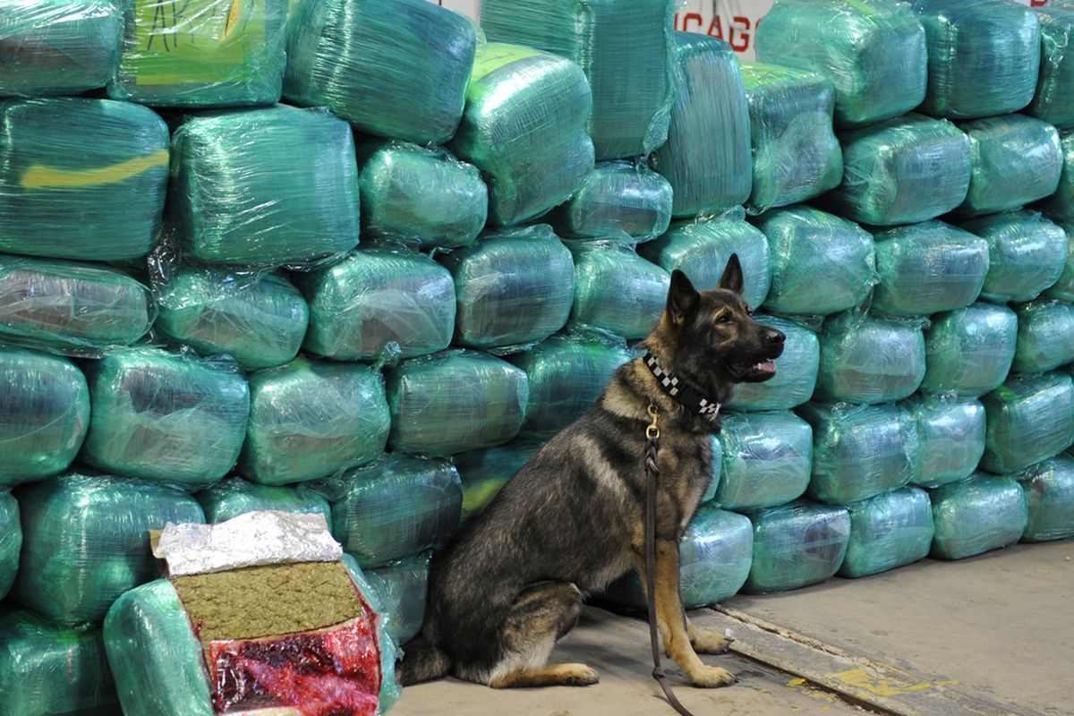 A dog with the Chicago Police Narcotics Unit stands guard over cannabis valued at more than $33 Million the unit seized in 2011. File Photo.