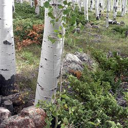A young aspen sprout in the Pando clone may survive wildlife browsing in a protected location. Large boulders and dense juniper apparently have kept deer and elk at bay long enough for this tree to nearly reach above their browse limit of about six feet.