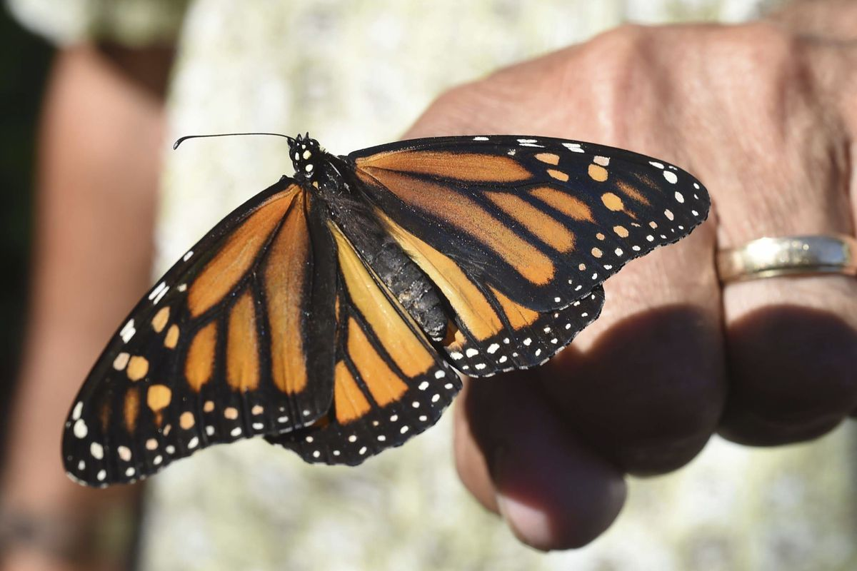 In this Oct. 20, 2017, file photo, John Miano of Destin, Fla., holds a monarch butterfly on his fingertip as he waits for the newly tagged insect to take flight during the Panhandle Butterfly House's Monarch Madness festival in Navarre, Fla. The Trump adm