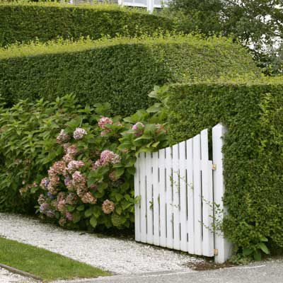 Privet Hedge With Mophead And Lacecap Hydrangeas