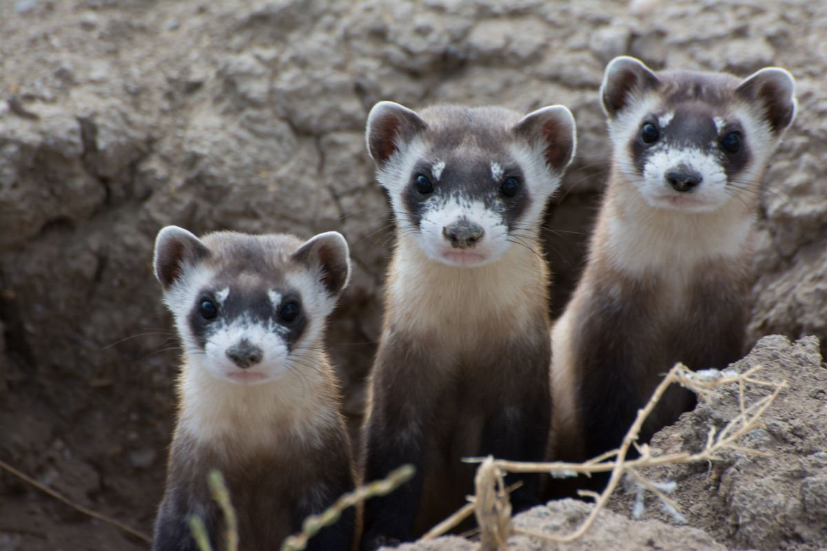 Black-footed ferrets!