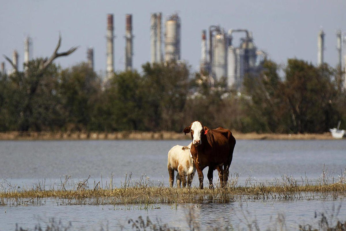 Cattle are stranded on a slim piece of dry land as floodwaters from Hurricane Isaac recede in Plaquemines Parish, La., Sunday, Sept. 2, 2012. More than 200,000 people across Louisiana still didn't have any power five days after Hurricane Isaac ravaged the