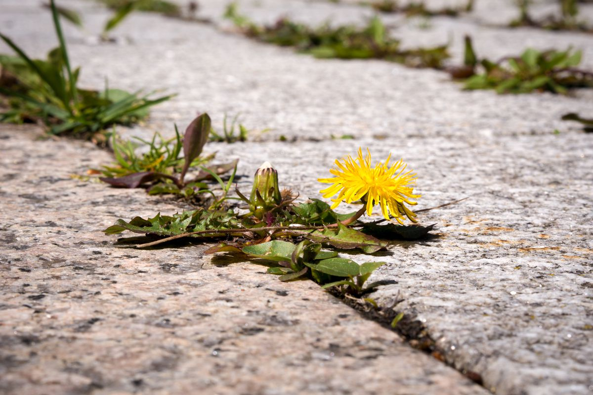 A closeup on a dandelion plant with one yellow bloom, growing between the cracks of a cement sidewalk.