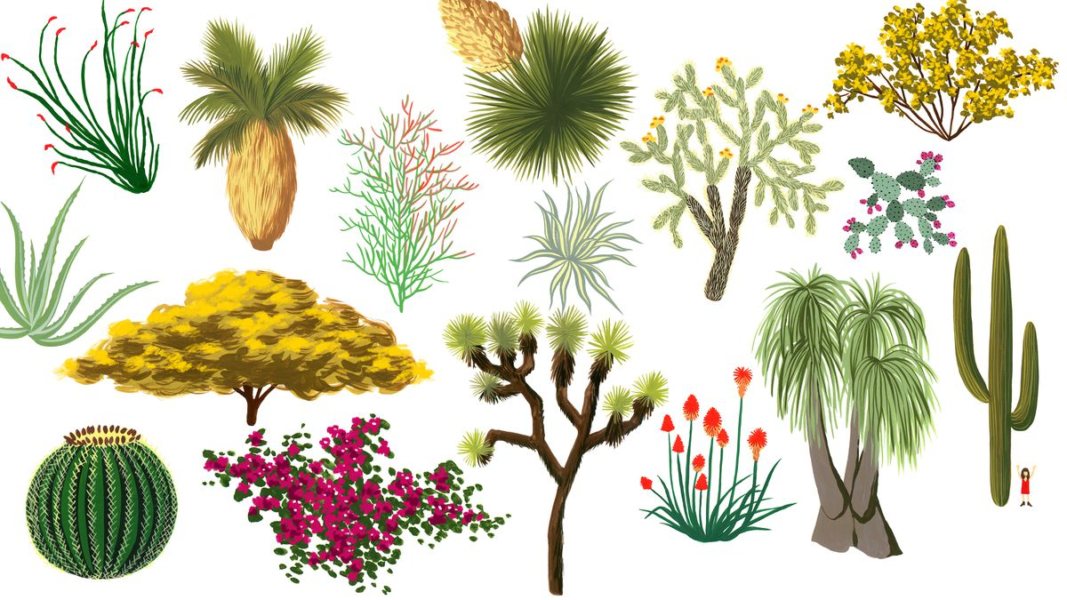 An Ilrated Guide To Southern California S Desert Plants