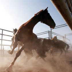 Horses whirl around as they are sorted Friday at the Extreme Mustang Makeover Competition in Herriman. In the competition, 34 horse trainers from multiple states pick up a preselected wild horse to be trained over the course of the next 90 days.